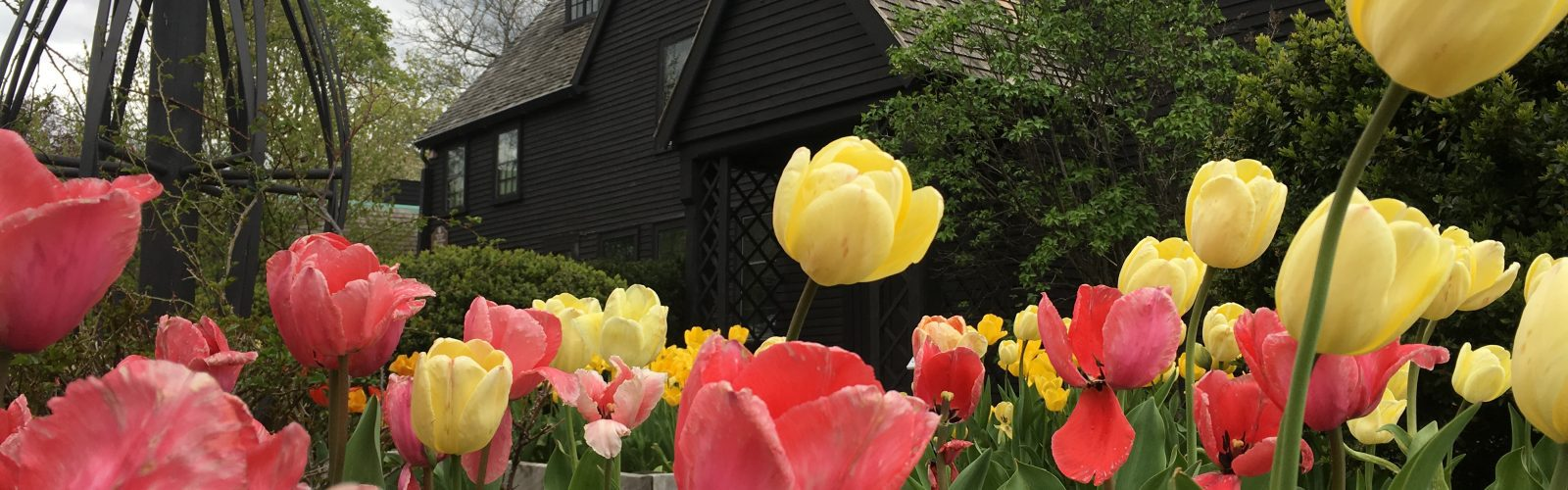 Tulips at The Gables Gardens