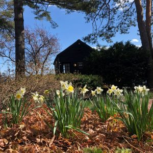 Daffodils in a garden by the harbor